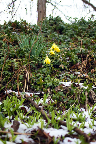 First Flower SNOW 9