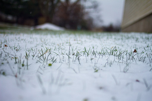 First Flower SNOW 16