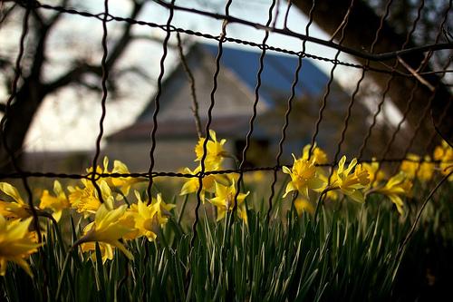 Mindy & Daffodils 90