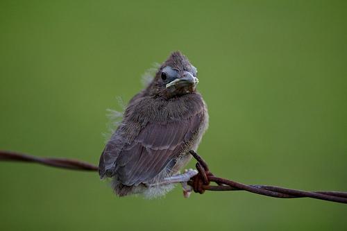 Baby cardinal 18